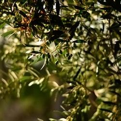filiera olivicola